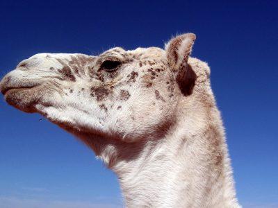 testa di cammello